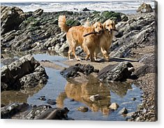 Two Golden Retrievers Walking Together Acrylic Print