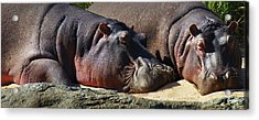 Two Hippos Sleeping On Riverbank Acrylic Print by Johan Swanepoel