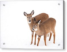 Two In The Snow Acrylic Print by Karol Livote