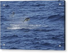 Two Jumping Yellowfin Tuna Acrylic Print