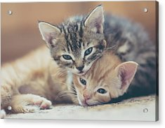 Two Kittens Looking At The Camera Acrylic Print by Harpazo hope