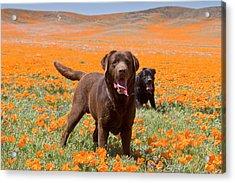 Two Labrador Retrievers Standing Acrylic Print