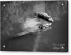 Two Large American Alligators Standing On Underwater Log Near Water Surface Florida Usa Acrylic Print by Joe Fox