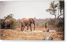Two Large Elephants Approaching A Acrylic Print by Wundervisuals