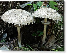Two Magnificent Toadstools Acrylic Print
