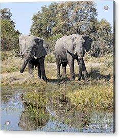 Two Male Elephants Okavango Delta Acrylic Print