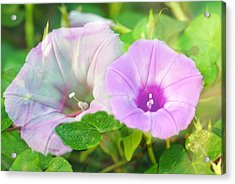 Two Morning Glories Acrylic Print