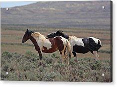 Two Mustangs In Wyoming Acrylic Print