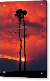 Two Oaks Together In The Field At Sunset Acrylic Print by Bess Hamiti