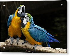 Two Parrots Squawking Acrylic Print by Dave Dilli