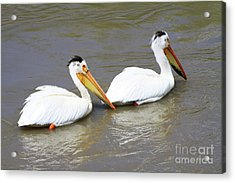 Two Pelicans Acrylic Print by Alyce Taylor