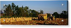 Two People Harvesting Tobacco Acrylic Print by Panoramic Images