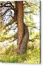 Two Pines Intertwined  Acrylic Print