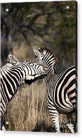 Two Plains Zebra Botswana Acrylic Print