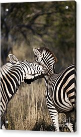 Acrylic Print featuring the photograph Two Plains Zebra Botswana by Liz Leyden