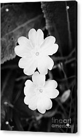 Two Primroses Primula Vulgaris Flower Heads Close Up Acrylic Print by Joe Fox