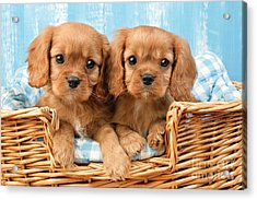 Two Puppies In Woven Basket Dp709 Acrylic Print by Greg Cuddiford