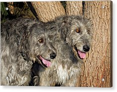 Two Purebred Irish Wolfhounds By A Tree Acrylic Print