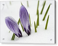 Two Purple Crocuses In Spring With Snow Acrylic Print