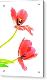 Two Red Transparent Flowers Acrylic Print