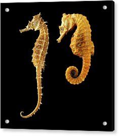 Two Seahorses Against Black Background Acrylic Print by Science Photo Library