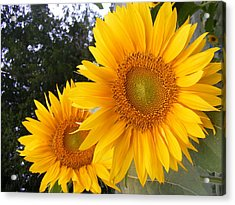 Two Sunflowers Acrylic Print by Ashley Thompson