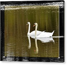 Two Swans A Swimming Acrylic Print by Robert Clayton