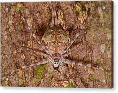 Two-tailed Spider Acrylic Print
