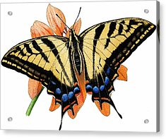 Two Tailed Swallow Butterfly Acrylic Print