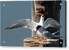 Two Terns Acrylic Print by Diane Rada
