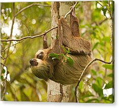 Two-toed Sloth Acrylic Print by Brian Magnier