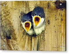 Two Tree Swallow Chicks Acrylic Print by Christina Rollo