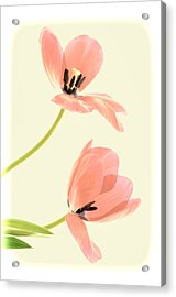 Two Tulips In Pink Transparency Acrylic Print