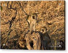 Two Vervet Monkeys Acrylic Print by Chris Scroggins