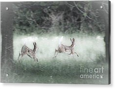 Two Whitetail Fawns Running Acrylic Print