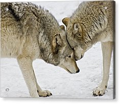 Two Wolves In  A Staredown Acrylic Print by Gary Slawsky