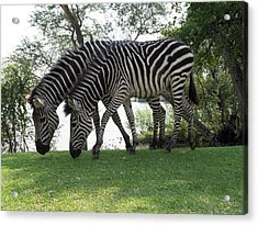 Two Zebras Eating Grass At Royal Acrylic Print by Panoramic Images