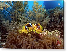 Twoband Anemonefish In An Anemone Acrylic Print by Alexis Rosenfeld/science Photo Library