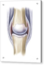 Typical Synovial Joint Acrylic Print by TriFocal Communications