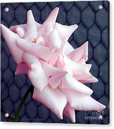 Una Rosa D'autunno Acrylic Print
