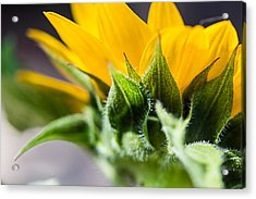 Under A Sunflower Acrylic Print