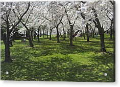 Under The Cherry Blossoms - Washington Dc. Acrylic Print by Mike McGlothlen