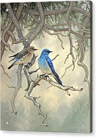 Under The Old Juniper-mountain Bluebirds Acrylic Print