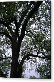 Under The Pecan Tree  Acrylic Print