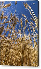 Acrylic Print featuring the photograph Under The Wheat by Rob Graham