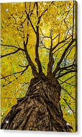 Under The Yellow Canopy Acrylic Print by Debra Martz