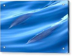 Underwater Dolphins Acrylic Print