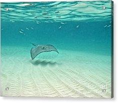 Underwater Flight Acrylic Print by Peggy Hughes