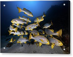 Underwater Photography-indian Ocean Sweetlips Acrylic Print