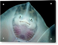 Undulate Ray Mouthparts Acrylic Print